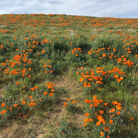 AV Poppies  by Mike Martinez - Novices Only Landscapes