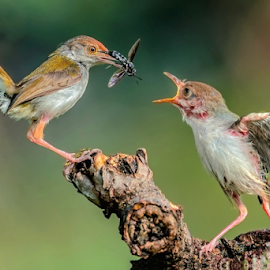 Common Tailorbird by MazLoy Husada - Animals Birds