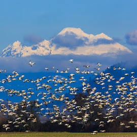 Flock of Snowgeese by Briand Sanderson - Landscapes Prairies, Meadows & Fields ( bird, migration, volcano, migratory birds, mt. baker, snowgeese, geese, landscape, flock, birds )