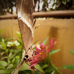 ready to fly off by Erl de Jose - Animals Insects & Spiders ( butterfly, animals, flying colors, insects, photography,  )