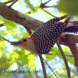 Red - bellied Woddpecker by Elfie Back - Typography Captioned Photos