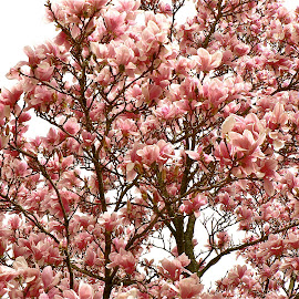 Magnolias.  by Peter DiMarco - Nature Up Close Trees & Bushes ( pink flowers, flora, nature up close, flowers, floral )