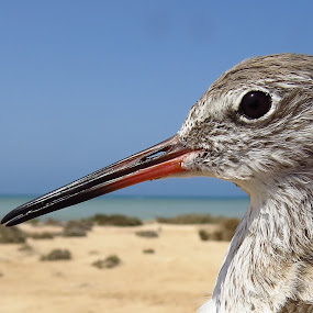 Common Redshank (Winter plumage) Farasan Island, Saudi Arabia by Mohamed Nasser - Animals Birds (  )