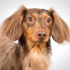 long-haired dachshund by Ginger Wlasuk - Animals - Dogs Portraits ( long-haired dachshund, dachshund, photo shoot, dog )