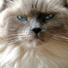 Woodstock The Cat by Joe Fazio - Animals - Cats Portraits ( feline, cats, ragdoll, show cat, cat, persian mix, portrait, blue eyes,  )