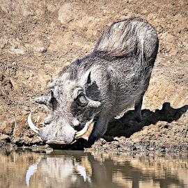 Daddy Warthog by Pieter J de Villiers - Animals Other