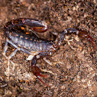 Wood scorpion