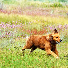 Loving Life by Christine McEwan - Animals - Dogs Running ( running, golden retriever, wildflower, happy, dog, meadow, joyful,  )