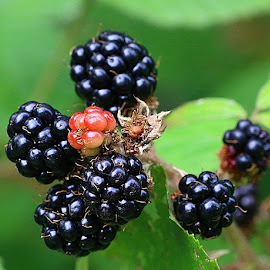 Wild Blackberries by Chrissie Barrow - Nature Up Close Other Natural Objects ( wild, fruit, red, nature, green, blackberries, bokeh, black, closeup, berries,  )