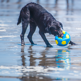 Labrador and ball by Cristobal Garciaferro Rubio - Animals - Dogs Playing ( wet dog, labrador, dog, black labrador )