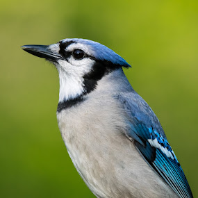 Portrait of a Blue Jay by Sandy Hogan - Animals Birds ( bird shots, bluejays, wildlife photography, bluejay, bird photography,  )