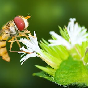 hover fly by Ak Pak Belang Sopan - Animals Insects & Spiders