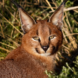 Portrait of a caracal by Charmaine Joubert - Animals Other Mammals ( wild cat, nature, caracal, beautiful, africa, close up )