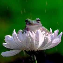 Prince Froggie on his petals sofa by OC Andoko - Animals Amphibians ( petals, frog, prince, amphibian, candid )