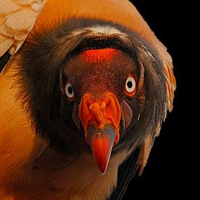 Wide eyed by Wilson Beckett - Animals Birds (  )