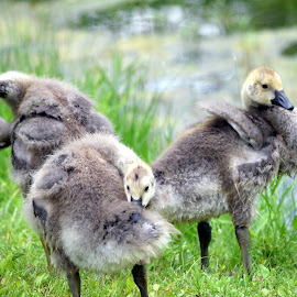 Baby Geese by Deborah Lucia - Animals Amphibians ( baby_geese, geese )