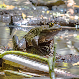 Bullfrog sitting on a log - square format by Jackie Nix - Animals Amphibians ( water, water quality, frog, amphibian, ecosystem, wildlife, lake, spring, water conservation, nature, summer, ecology, zoology, small, pond, biology, animal )