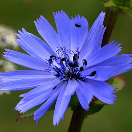 Chicory by Chrissie Barrow - Flowers Single Flower ( stigma, wild, single, stamens, blue, petals, chicory, insects, bokeh, black, beetles, flower,  )