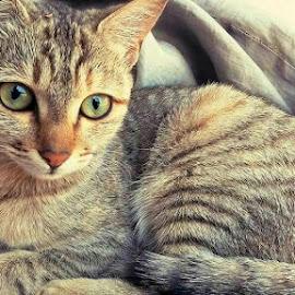 by Basavaraj Hiremath - Animals - Cats Portraits