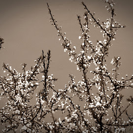 The tree and the wall-bw by Meglena Georgieva - Nature Up Close Trees & Bushes ( nature, tree, bw, flowers, spring, blossom )