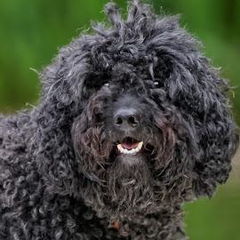 Dog 855 by Raphael RaCcoon - Animals - Dogs Portraits ( dog )