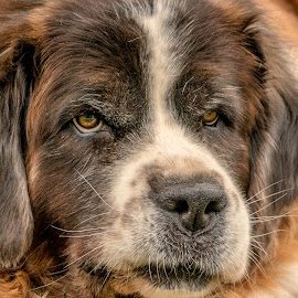 Go Ahead, Make My Day by Sheen Deis - Animals - Dogs Portraits ( dogs, nature, pets, st. bernard )