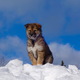 King of the Hill! by Sandra Updyke - Animals - Dogs Puppies ( cute!, winter, husky, puppy, dog )