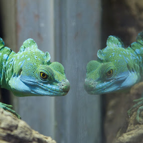 On Reflection by John Puddy - Animals Reptiles ( reflection, reptile )