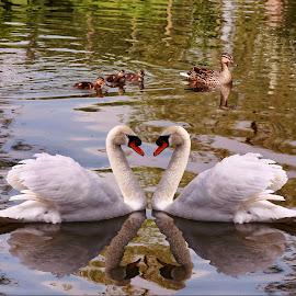 Swanlake by Len  Janes - Digital Art Animals ( water, ducklings, swans, drake, mute swan, art, ducks, swan, cob, swanlake, wet )