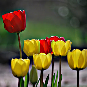 red and yellow by Tim Hauser - Nature Up Close Flowers - 2011-2013 ( nature, art, fine art, tulips, flowers )