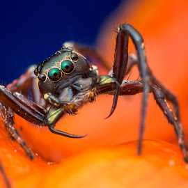 Jumping Spider (Pristobaeus sp.) by Calvin Ang - Animals Insects & Spiders ( jumping, wildlife, insects, insect, singapore, macro, bugs, nature, trail, asia, spider, closeup, animal, wild animal, wild, park, forest, close up, jumper, jump, jungle, bug, garden, natural, entomology )