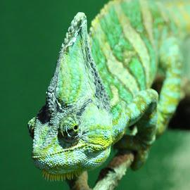 Chameleon by Ralph Harvey - Animals Reptiles ( wildlife, ralph harvey, reptile, chameleon, longleat safari park )
