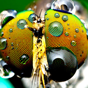 robber fly by ธเนศ ขวยไพบูลย์ - Animals Insects & Spiders ( canon, macro, fly, insect )