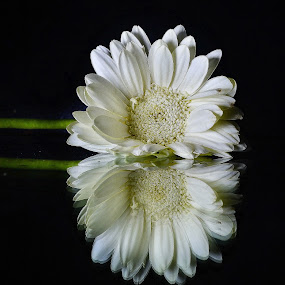 daisy by Aravindh Ganesh - Artistic Objects Other Objects ( white, daisy, beauty, nikon, refection, black, flower,  )