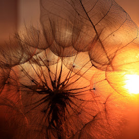 Delicate Touch by Svetlana Micic - Nature Up Close Other plants ( plant, dandelion, sunset, nature up close, flower )