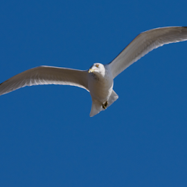 Soaring Seagull by Timothy Crane - Novices Only Wildlife ( bird, seagull, pennsylvania, soaring )