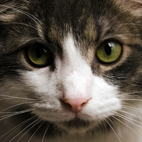 by Lacy Gillott - Animals - Cats Portraits