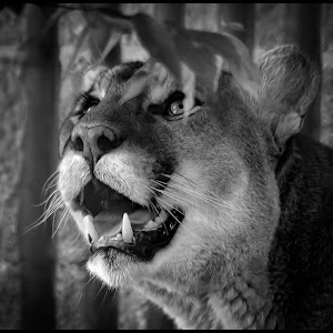 Mountain Lion-22.jpg