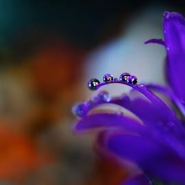 Fallen Dreams  by Oliur Rahman Pritom - Nature Up Close Natural Waterdrops ( water, macro, nature, color, colorful, nature up close, nikon, waterdrops, natural, velvet, droplets,  )
