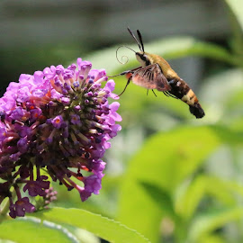 Hummingbird Moth by Susan Stark - Animals Insects & Spiders