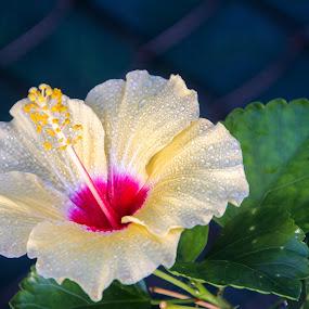 Yellow Hibiscus by Trevor Smart - Flowers Single Flower ( bellamack, hme, hibiscus, yellow, flower,  )