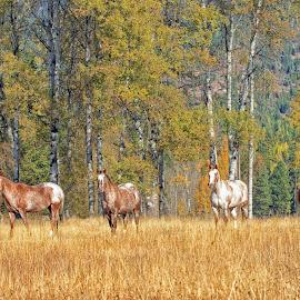 Montana Autumn Horse Pasture by Twin Wranglers Baker - Animals Horses ( appaloosa horses, horses, autumn, montana, fall, horse, appaloosa,  )