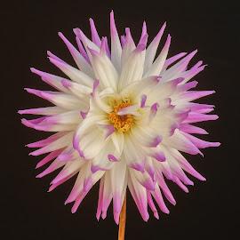 Pink % White burst by Jim Downey - Flowers Single Flower