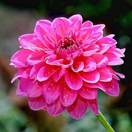 Pink dalhia by Gérard CHATENET - Flowers Single Flower