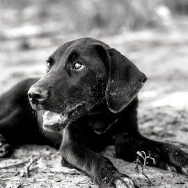 Treats Now? by Rob Heber - Animals - Dogs Portraits ( pet, puppy, paws, labrador, dog, lab, black, animal )