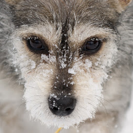 Snowy Eyelashes by Morgan Baumgartner - Animals - Dogs Playing ( winter, dogs, eyelashes, snow, puppy )