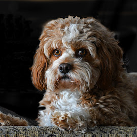 Cavapoo by Steven Liffmann - Animals - Dogs Portraits