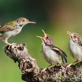 Tailorbird by MazLoy Husada - Animals Birds