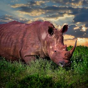 Rhino Sunset by Mauritz Janeke - Digital Art Animals ( mammals, rhino bull, animals, digital art, mauritz, sunset blending, flash photo, rhino, photshop,  )