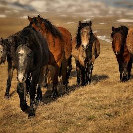 by Andrija Vrcan - Animals Horses ( animals, wild horses )